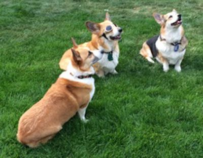 The corgis await treats after performing tricks in the yard of Michael and Susan Cain. (Paul Turner)
