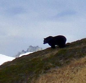 This grizzly bear was photographed by backpacker Joe Sebille in North Cascades National park in October, 2010. U.S. Fish and Wildlife Service experts later confirmed it as a grizzly -- the first to be photographed in a half a century in the U.S. portion of the range. (Associated Press)
