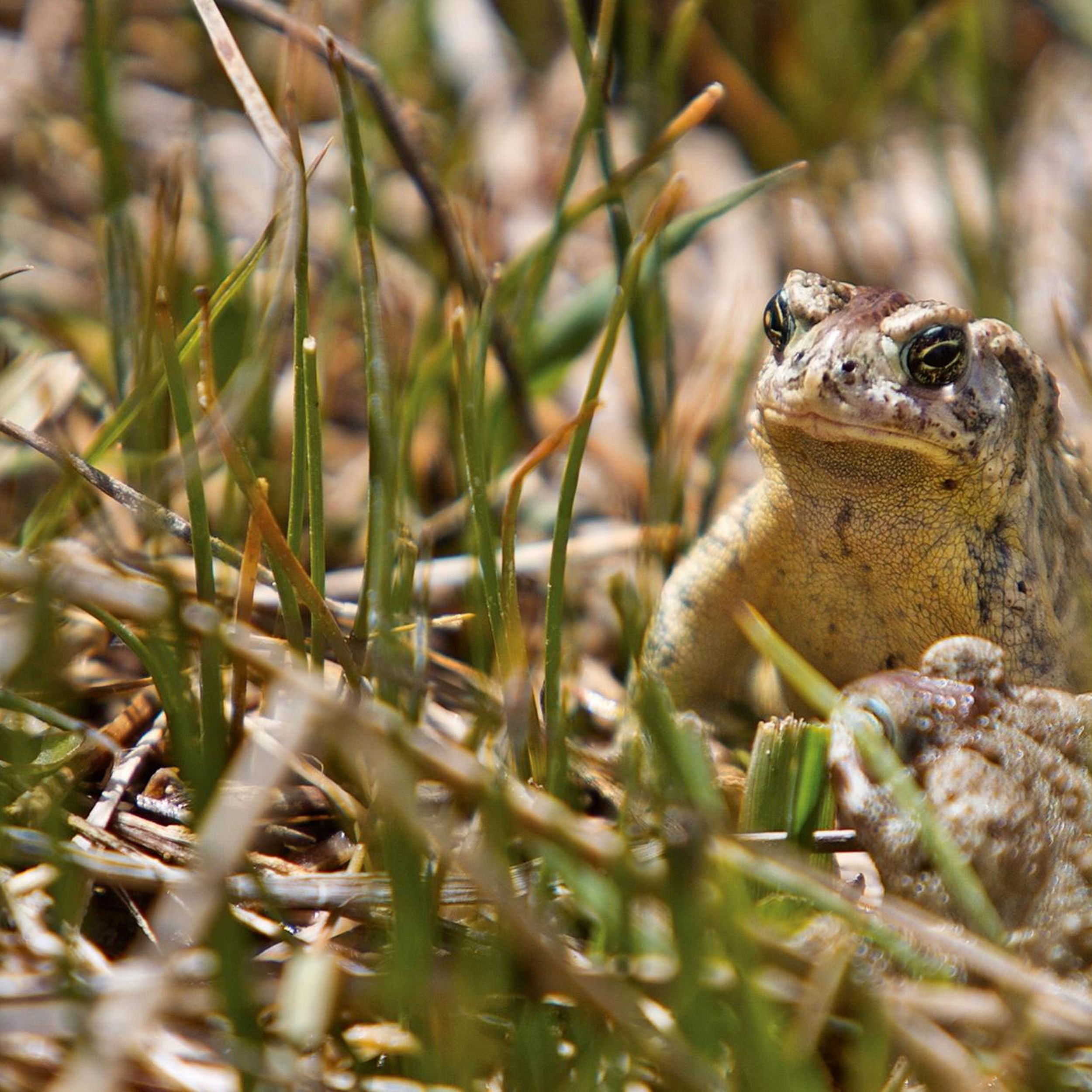 Hundreds Of Toads Hop Free Offering Hope For At Risk Animal The Spokesman Review