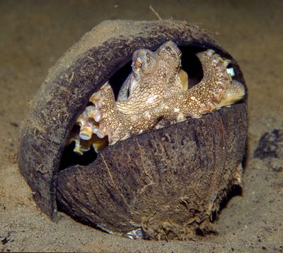 In this photo taken near Indonesia and released by Museum Victoria, a veined octopus hides in a coconut shell.  (Associated Press)