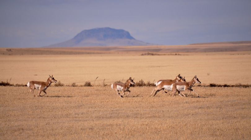 Pronghorns race through a wheat stubble field in Central Montana. (Rich Landers)