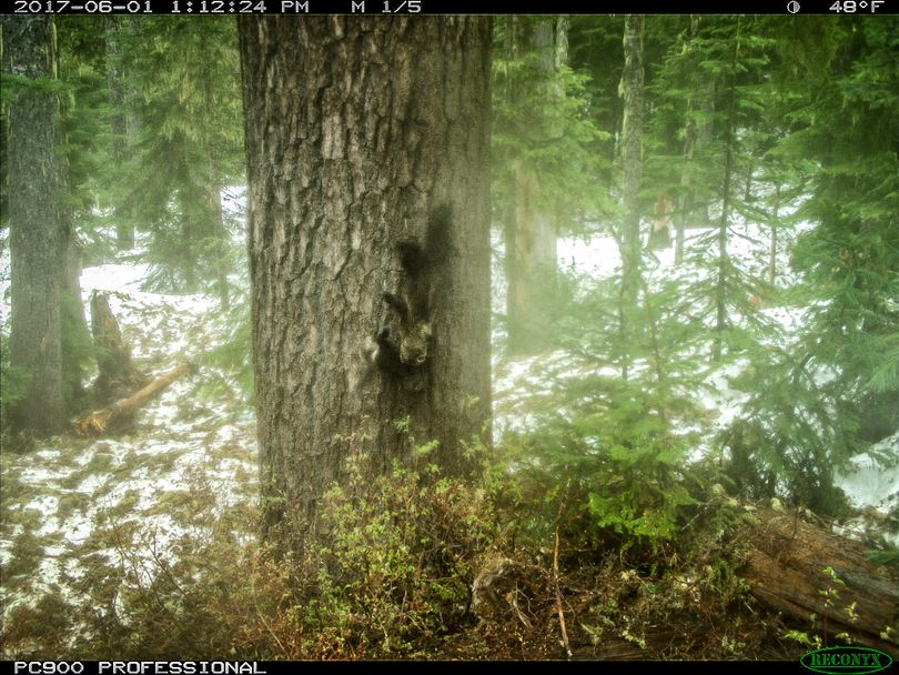 Remote camera images of a young female fisher carrying a young fisher down a tree helped confirmed reproduction of the species in Washington's South Cascades since they were reintroduced to the area in late 2015.  (Conservation Northwest)