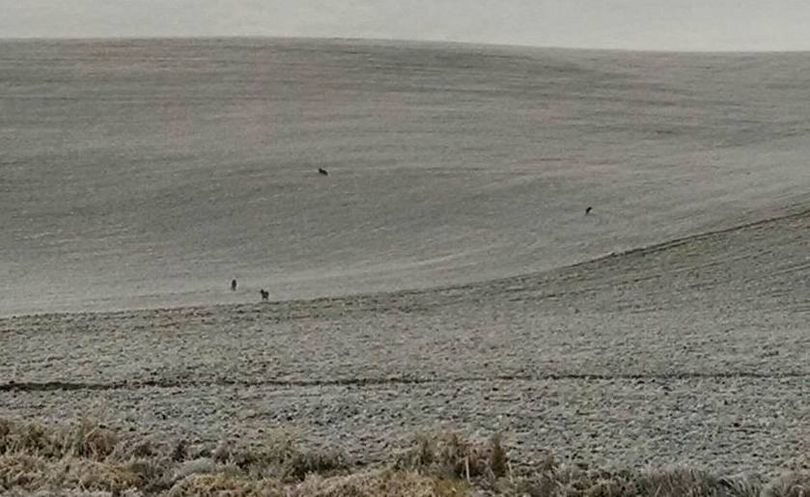 Four canines, likely wolves but unconfirmed, were spotted Dec. 2, 2015, crossing a seeded farm field near the Johnson cuttoff road near Pullman.   (Courtesy)