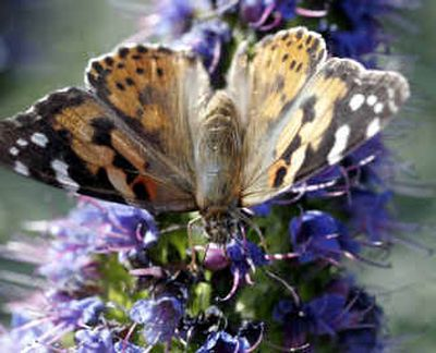 A painted lady butterfly perches on a Mexican sage bloom in Point Loma near San Diego in late March.   (Associated Press / The Spokesman-Review)