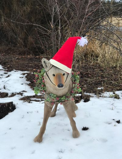 Wily the coyote decoy was looking very festive during the holiday season, much to the delight of Susan Mulvihill's neighbors.  (Susan Mulvihill/For The Spokesman-Review)