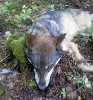 This 75-pound wolf was killed the day after an Aug. 24, 2013, attack on a teenager in a campground along the shore of Lake Winnibigoshish in the Chippewa National Forest of Minnesota.  (Minnesota Department of Natural Resources)