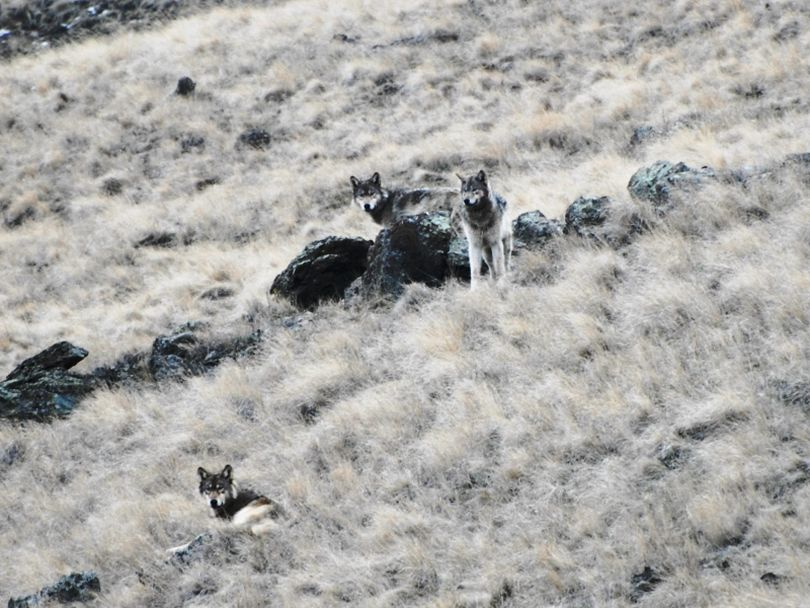 Wolves are hunting elk on the open canyon slopes of northeastern Oregon. (Courtesy photo)