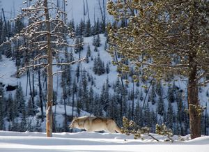 A lone gray wolf travels along the Madison River in Yellowstone National Park in February 2008.  (FILE / The Spokesman-Review)