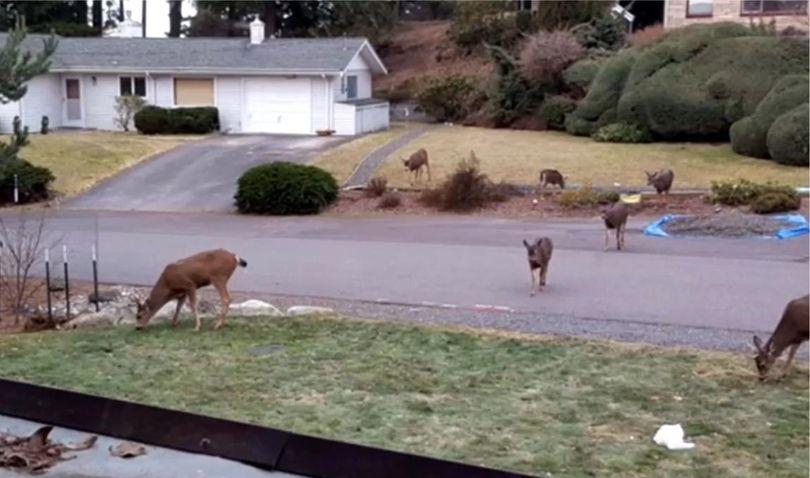 Deer are feeling at home in some neighborhoods of Bellingham, Washington. (Courtesy via KOMO-TV)