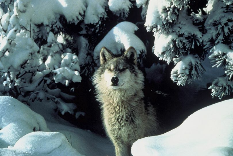 Western gray wolf photographed in Montana. (Tracy Brooks / U.S. Fish and Wildlife Service)