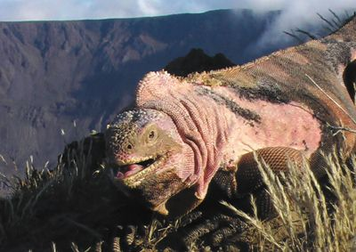 An adult pink male iguana stands on the rim of the Volcan Wolf crater on Isabela Island, one of the Galapagos Islands,  in 2006.  (Associated Press / The Spokesman-Review)