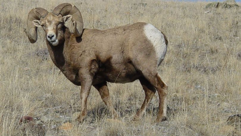 A bighorn ram photographed at the National Bison Range in western Montana. (U.S. Fish and Wildlife Service)