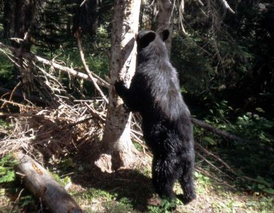 Annual black bear harvest during the general bear season in District 1 showed a stable trend from 2014 to 2016 before declining sharply in 2017 and 2018.  (Contributed photo)