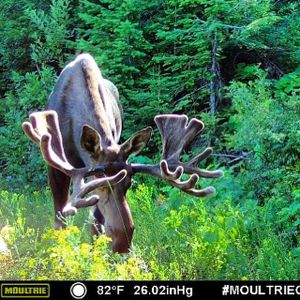 A bull moose photographed by a trail cam in Stevens County sports a good rack of antlers in early July with six weeks to grow before they harden and the velvet is rubbed off in time for the mating season. (Steve Gilbertson)