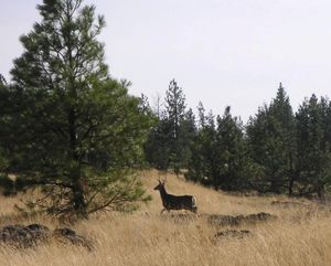 A fork-horn mule deer buck -- to small to be legal game for hunters in most of Eastern Washington. (Adam Lynn)