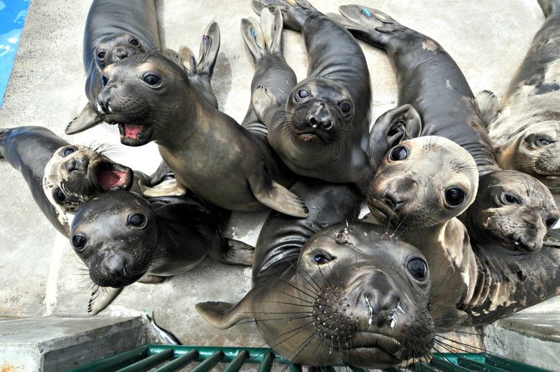 Recently rescued elephant seals explore their temporary home at SeaWorld San Diego, Wednesday, April 28, 2010. The young seals were rescued from San Diego area beaches and will be returned to the wild once they have been rehabilitated. (Mike Aguilera / Seaworld San Diego)
