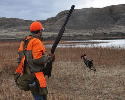 Bob St. Pierre of Minnesota follows his German shorthair pointer while hunting Montana pheasants on islands in the Missouri River via canoes. (Rich Landers / The Spokesman-Review)