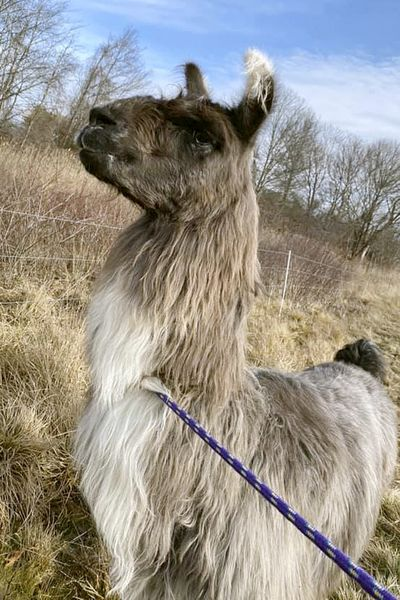 This Monday, Jan. 4, 2021, photo released by Newburyport/West Newbury Animal Control shows a male llama that was found Monday alone in a field near Interstate 95 in Newburyport, Mass. The llama was temporarily kept at a local farm until its owner could be located.  (Kayla Provencher)