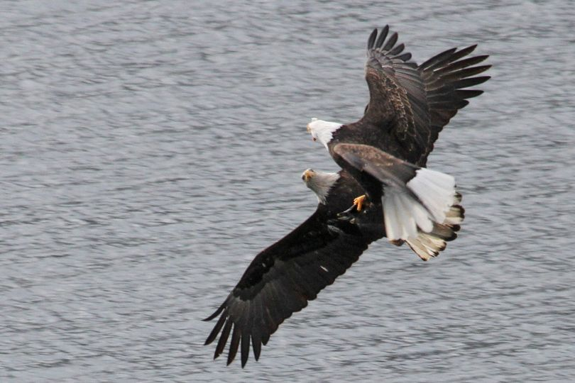 Bald eagles tussle in the air for control of a kokanee one had snagged from the water with its talons in the Wolf Lodge Bay area of Lake Coeur d'Alene. (Carlene Hardt)