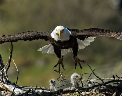 A father eagle launches from his nest in pursuit of two merganser ducks on April 16, 2021. Jerry Rolwes took this photo. The two ducks managed to escape the attacking eagle, Rolwes said.   (Courtesy of Jerry Rolwes)