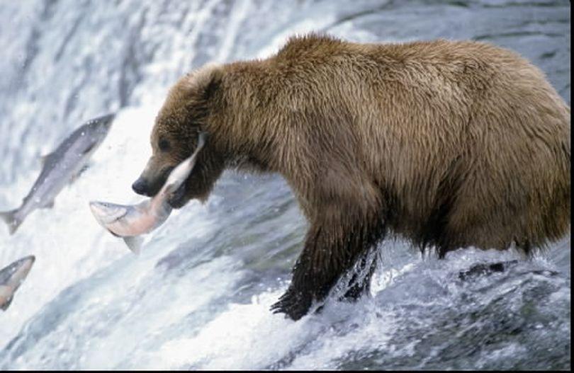 Alaska brown bears fishing for salmon make impressive subjects for photographers. (Associated Press)