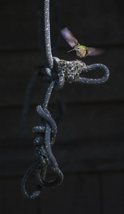 A hummingbird heads for home after flying around Doug Clark's backyard on Wednesday. (Dan Pelle / The Spokesman-Review)