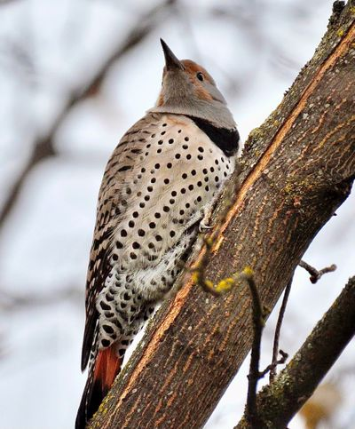 This Northern Flicker is one of three that visits the backyard of Terry Sanborn in the Spokane Valley frequently.  (Terry Sanborn/courtesy)
