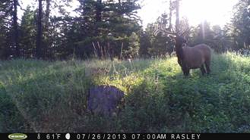 Elk attracted to lure crops in the Blue Mountains. (Washington Fish and Wildlife Department)
