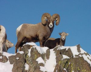 This undated photo released by the Hells Canyon Bighorn Sheep Initiative shows a Bighorn ram and other sheep in Hells Canyon, Idaho.  (File Associated Press)