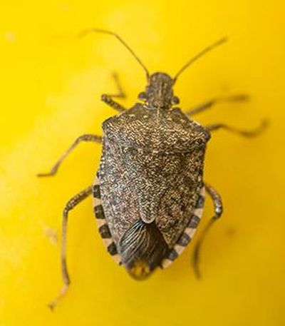 (Pictured is a stink bug. Growing numbers of the pests have been found in Washington this fall.)