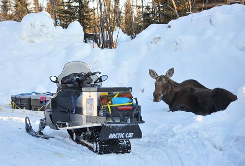 A moose rests in deep snow by Bob Jones's snowmobile near McGrath, Alaska. Jones of Kettle Falls and his son-in-law Josh Rindal of Spokane followed the Iditarod Trail and the 2012 Iditarod sled dog race, and they did it again in 2014.  (Bob Jones)