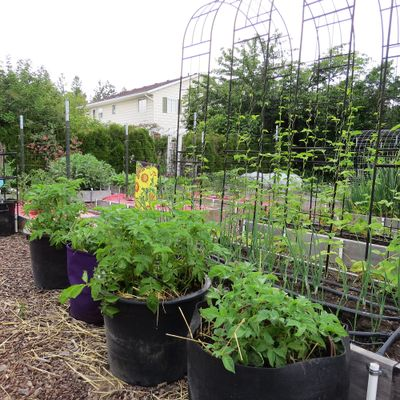 If you don't have room in your garden plot to plant potatoes, they will grow well in large cloth grow bags or containers.  (SUSAN MULVIHILL/FOR THE SPOKESMAN-REVIEW)