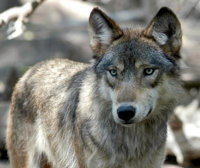 In this July 16, 2004, file photo, a gray wolf is seen at the Wildlife Science Center in Forest Lake, Minn. (Dawn Villella / associated press)