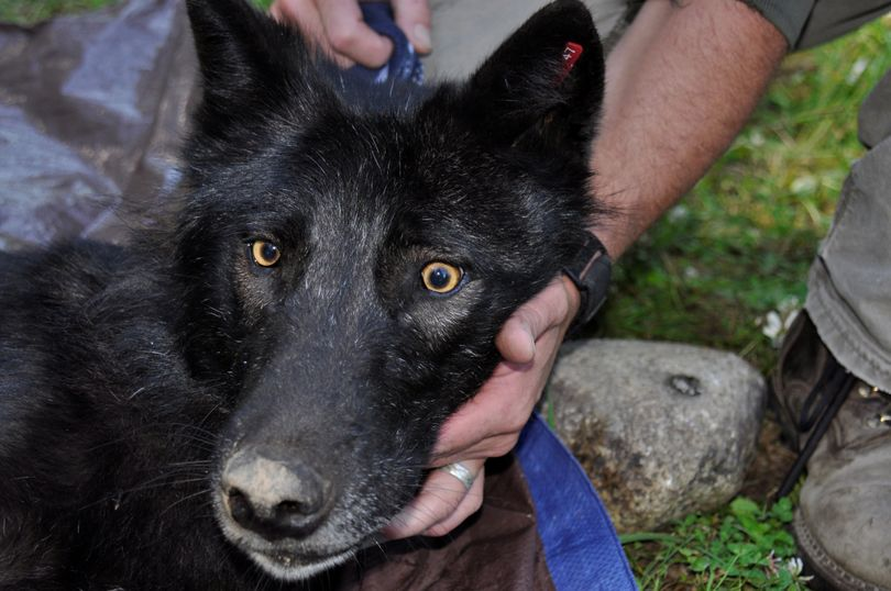 The Ruby Creek wolf was trapped, radio collared and released by Washington Department of Fish and Wildlife biologists in 2013 (Rich Landers)