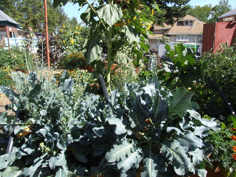 Riverfront Farms in Spokane's West Central neighborhood offers opportunities for youth to learn about gardening and growing.  (Paul K. Haeder / Down to Earth NW Correspondent)