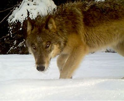 A gray wolf is photographed last summer by a Washington Department of Fish and Wildlife game camera near Chewelah.  (Washington Department of Fish and Wildlife)