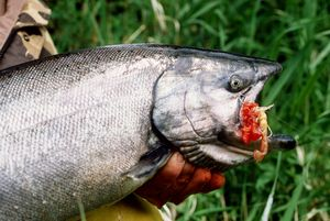 Spring chinook salmon are prized for table quality.  (File / The Spokesman-Review)