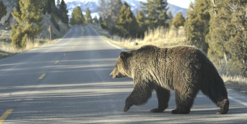 A grizzly bear walks across a road in Yellowstone Park.  (Associated Press)
