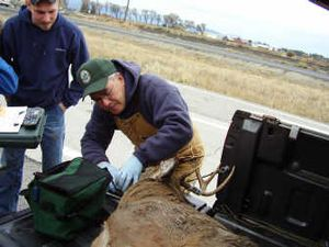 Steve Zender of Chewelah, a wildlife biologist with the Washington Fish and Wildlife Department, studies a deer at a hunter check station. Zender is the agency's 2006 Employee of the Year. Photo courtesy of the WDFW  (Photo courtesy of the WDFW / The Spokesman-Review)