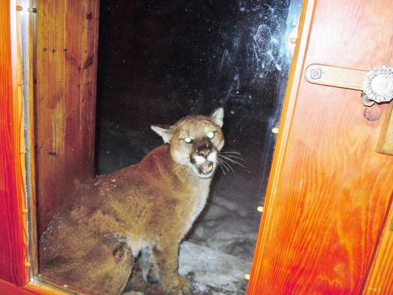 Robert C. Nielsen of Stehekin, Wash., photographed this sickly mountain lion on his porch in February 2014. Eventually, Nielsen had to shoot and kill the cougar after efforts failed to chase it away. (Courtesy)