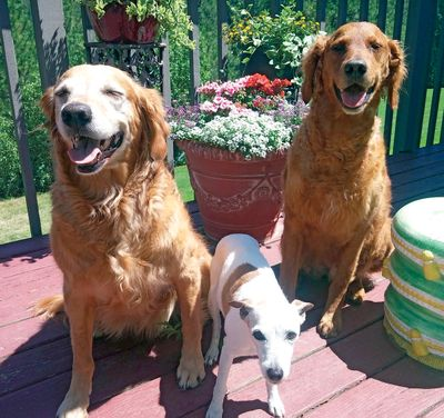 Deb Lynam uses cannabis oil to help Benny, left, who was suffering seizures. She has also started giving some to Flinn, right. Her other dog is Twosie, center.  (Courtesy Deb Lynam)