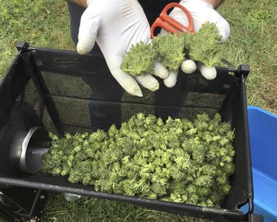 In this Sept. 30, 2016  photo, a marijuana harvester examines a bud that is going through a trimming machine in a rural area near Corvallis, Ore. (Andrew Selsky / Associated Press)