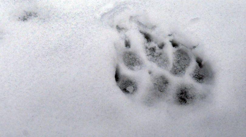 Gray wolf track.