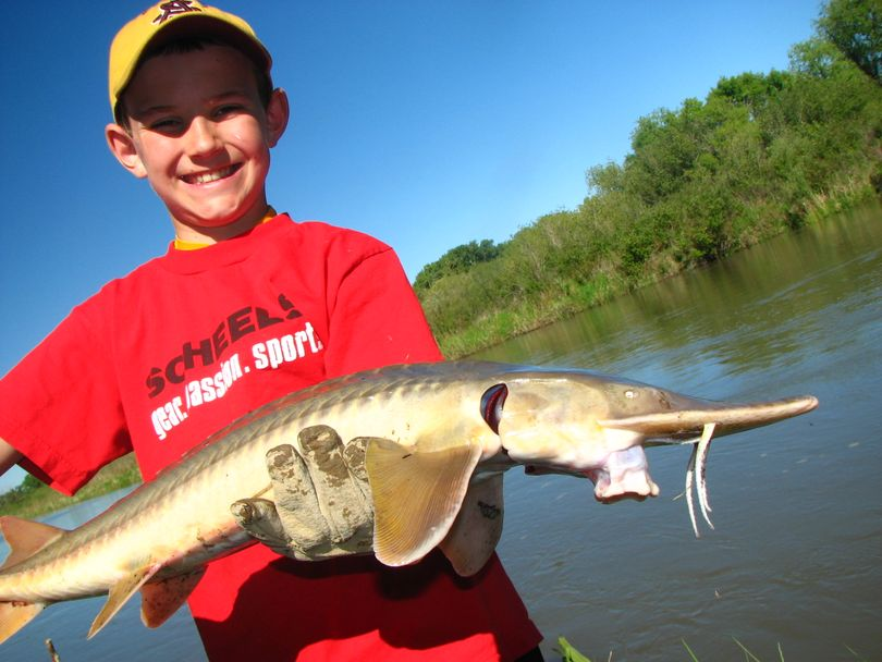 Joe Hagengruber, 10, of Helena poses with shovelnose sturgeon. Joe loves fishing and has set a goal of catching all 86 fish species found in Montana. (Montana Fish, Wildlife and Parks)
