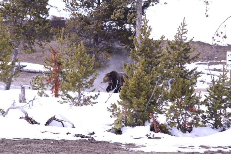 A grizzly bear roams Yellowstone National Park shortly after emerging from its winter den in March 2013. (Yellowstone Tour Guides)