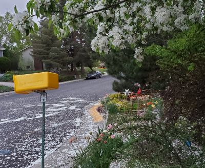 Wind gusts produced by a strong cold front blew tree blossom petals into the streets on the evening of May 6 in Moscow, Idaho.  (Linda Weiford/For The Spokesman-Review)