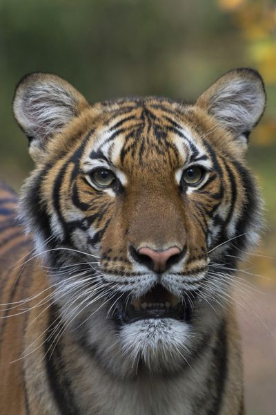 This undated photo provided by the Wildlife Conservation Society shows Nadia, a Malayan tiger at the Bronx Zoo in New York. Nadia has tested positive for the new coronavirus, in what is believed to be the first known infection in an animal in the U.S. or a tiger anywhere, federal officials and the zoo said Sunday. (Julie Larsen Maher / Associated Press)