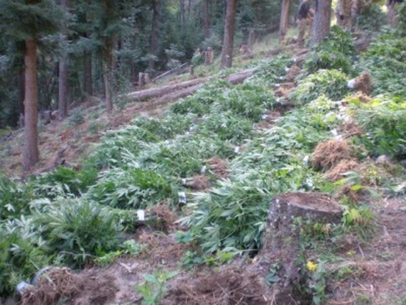 A crop of ripening marijuana was found by Oregon State Patrol officers in northeastern Oregon in the third week of August 2011. About 10,35 plants were seized.  (Oregon State Patrol)