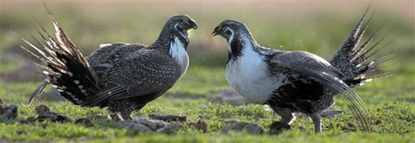Greater sage grouse (AP / File)