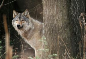 In 2008, the gray wolf, which was re-introduced to the northern Rockies in 1995, flipflopped off and back on the Endangered Species list, endured a brief hunting season in Wyoming, negotiated the Snake River to take up residence in Oregon and had its first comfirmed litter of pups in Washington since the 1930s.  (Associated Press / The Spokesman-Review)